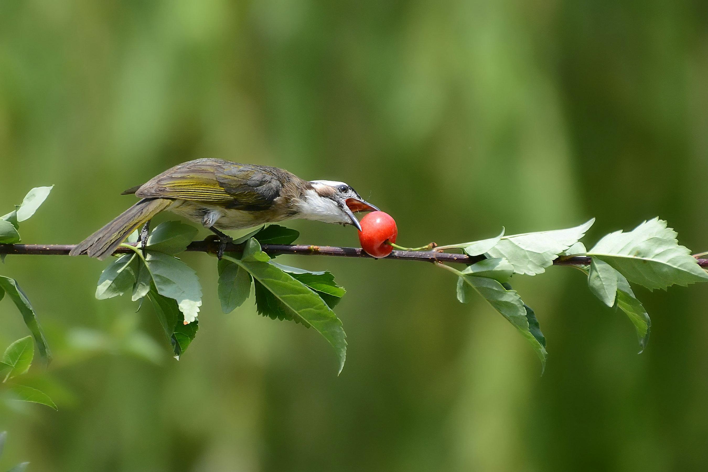 白头鹎吃樱桃