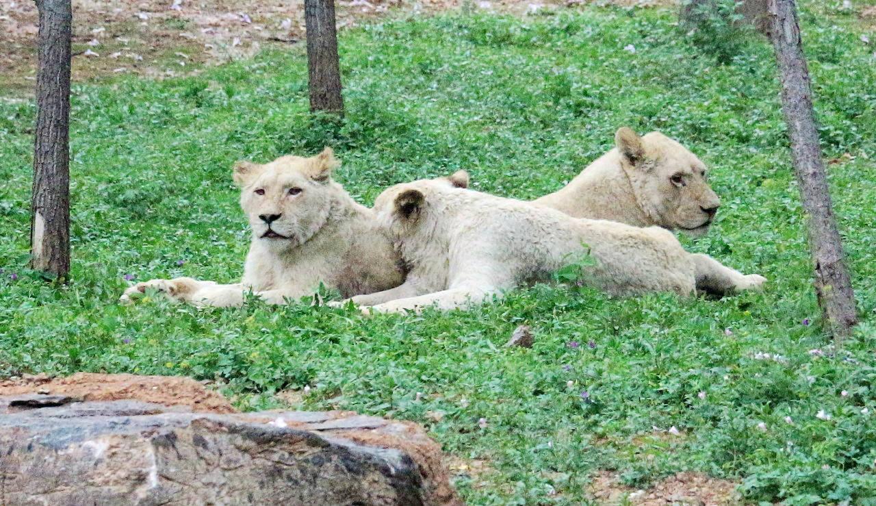 狮子(1).jpg