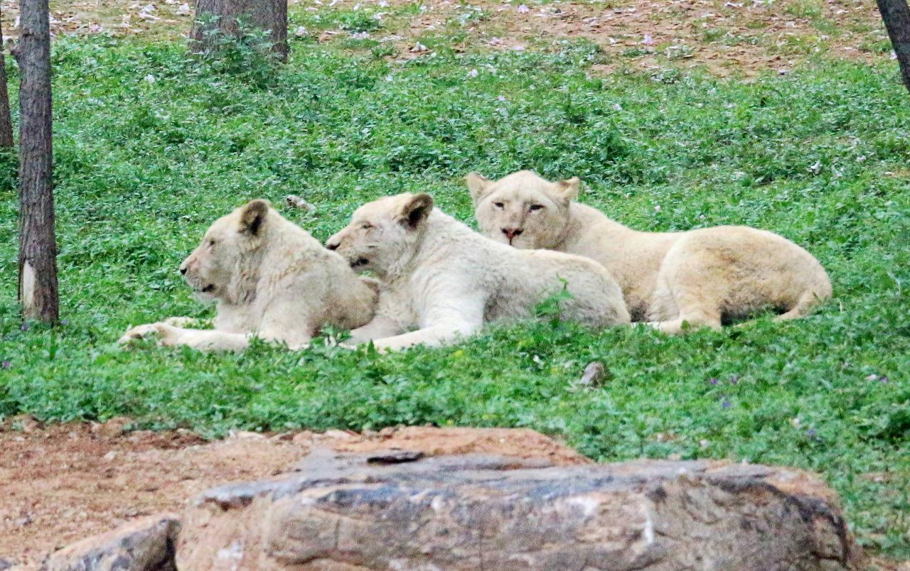 狮子(2).jpg