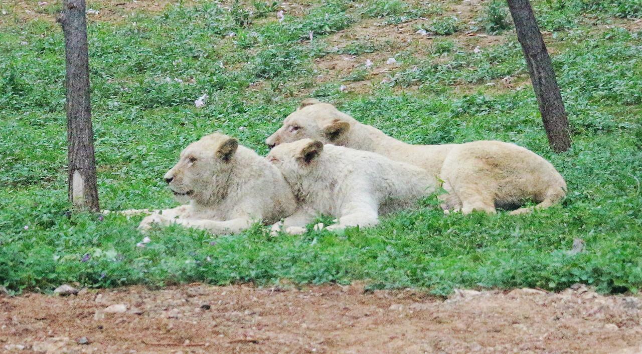 狮子(3).jpg