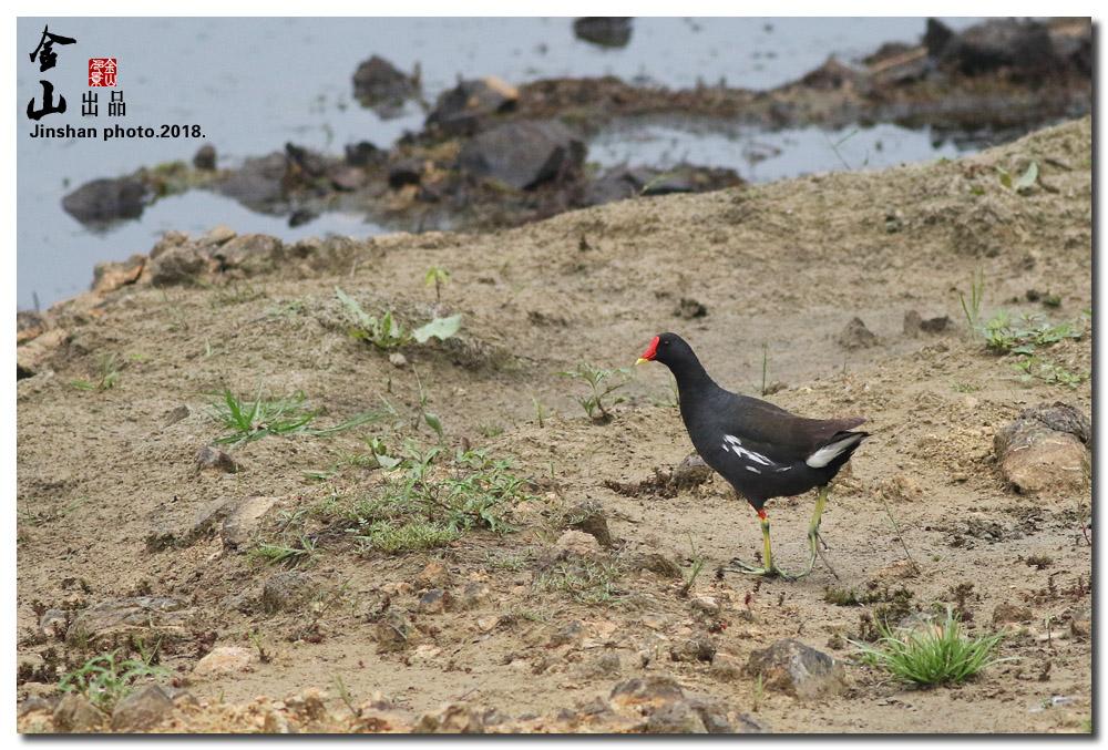 黑水鸡2.jpg