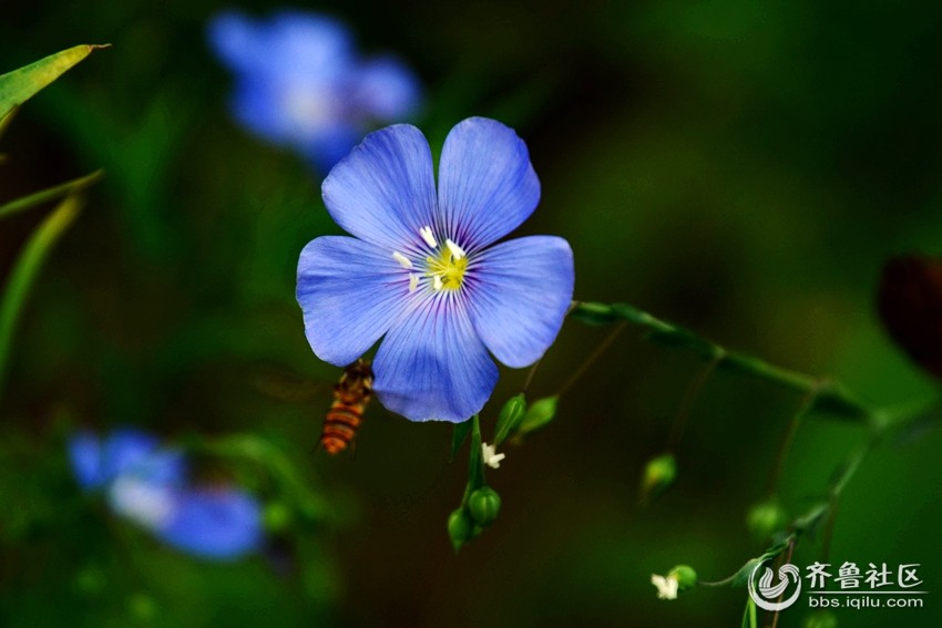 宿根亚麻花(2)