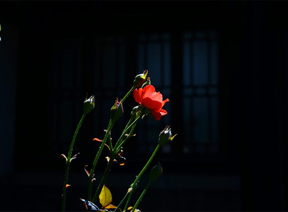 17.宁静祥和的红和平月季.jpg