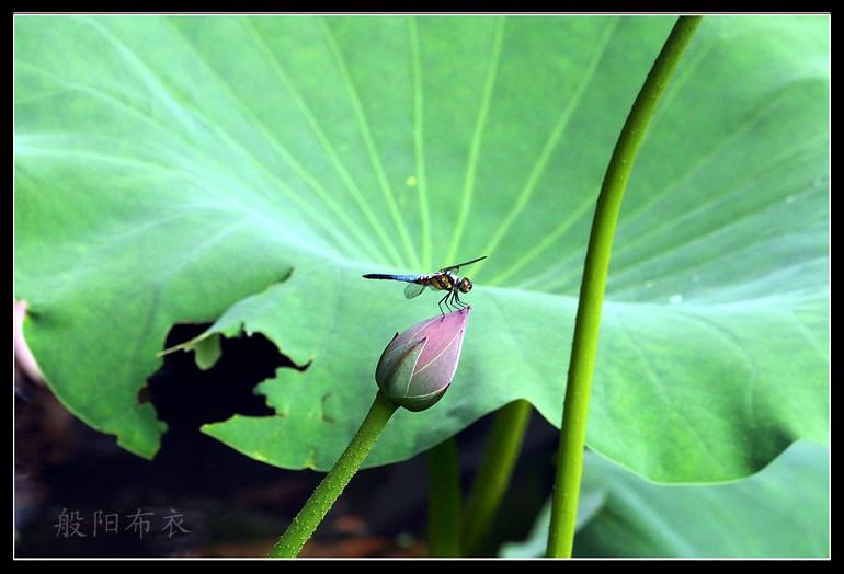 蜻蜓立菡萏