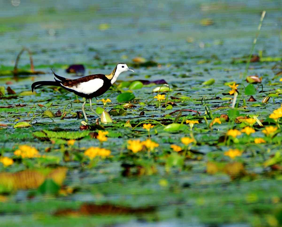 东平湖水雉