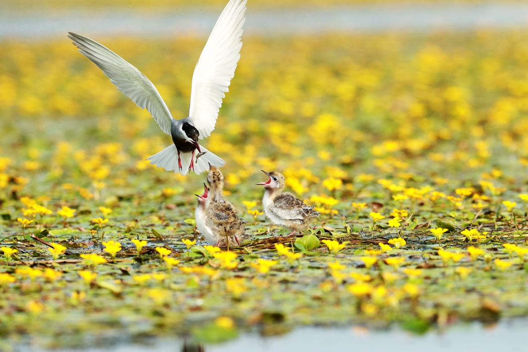 东平湖拍鸟、、、、、、喂雏