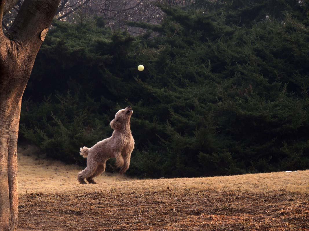 绿意春风---玉兰树下旺接球.jpg