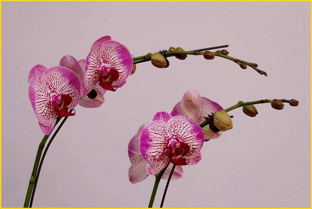 蝴蝶兰(5).jpg