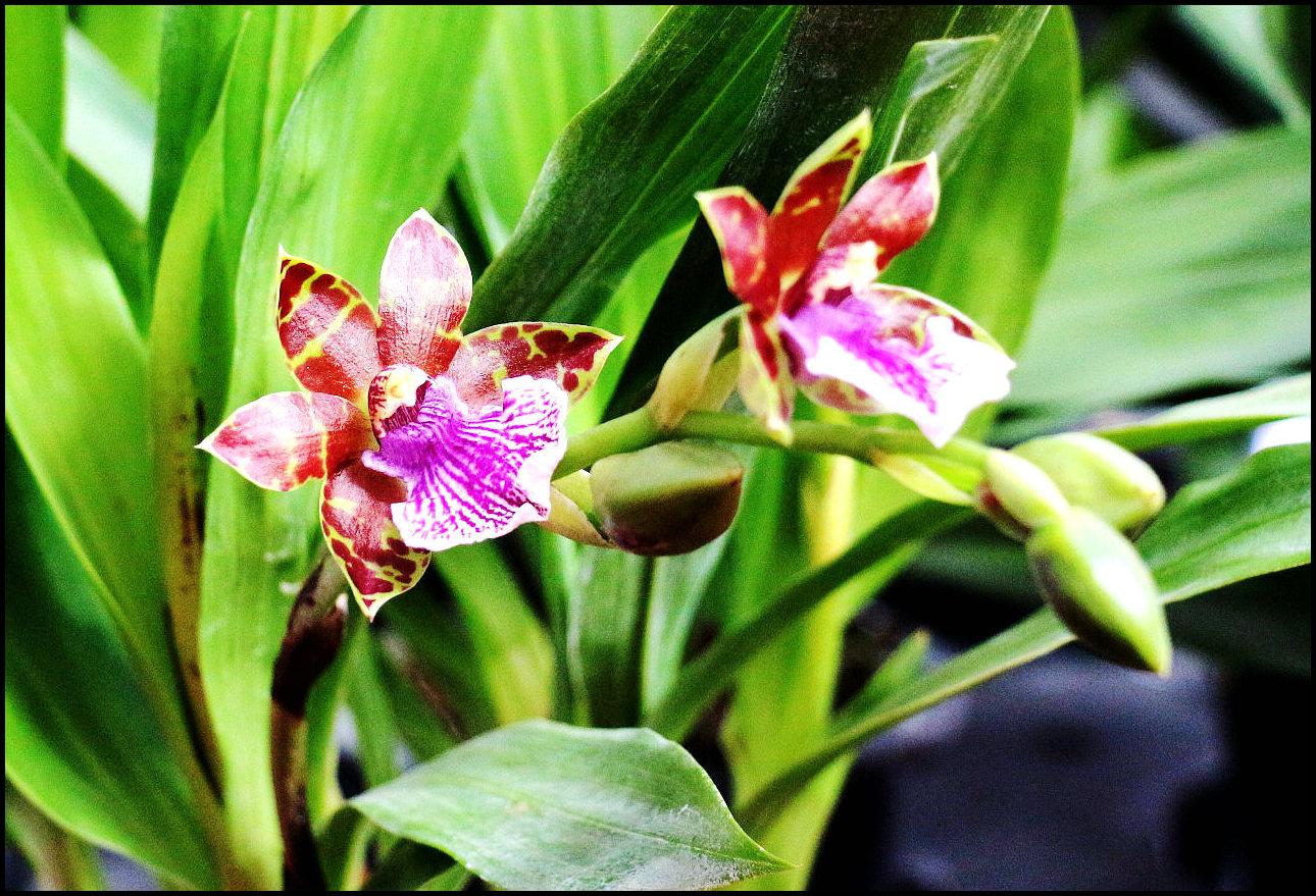 紫香兰(1).jpg