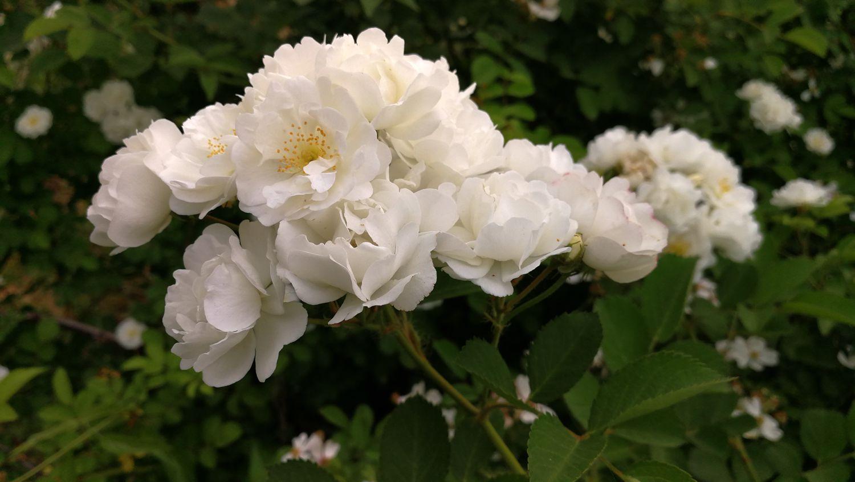 白蔷薇图马远