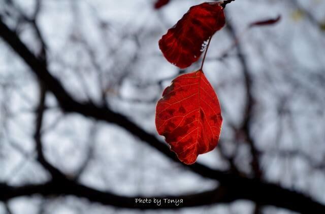 一抹秋的红