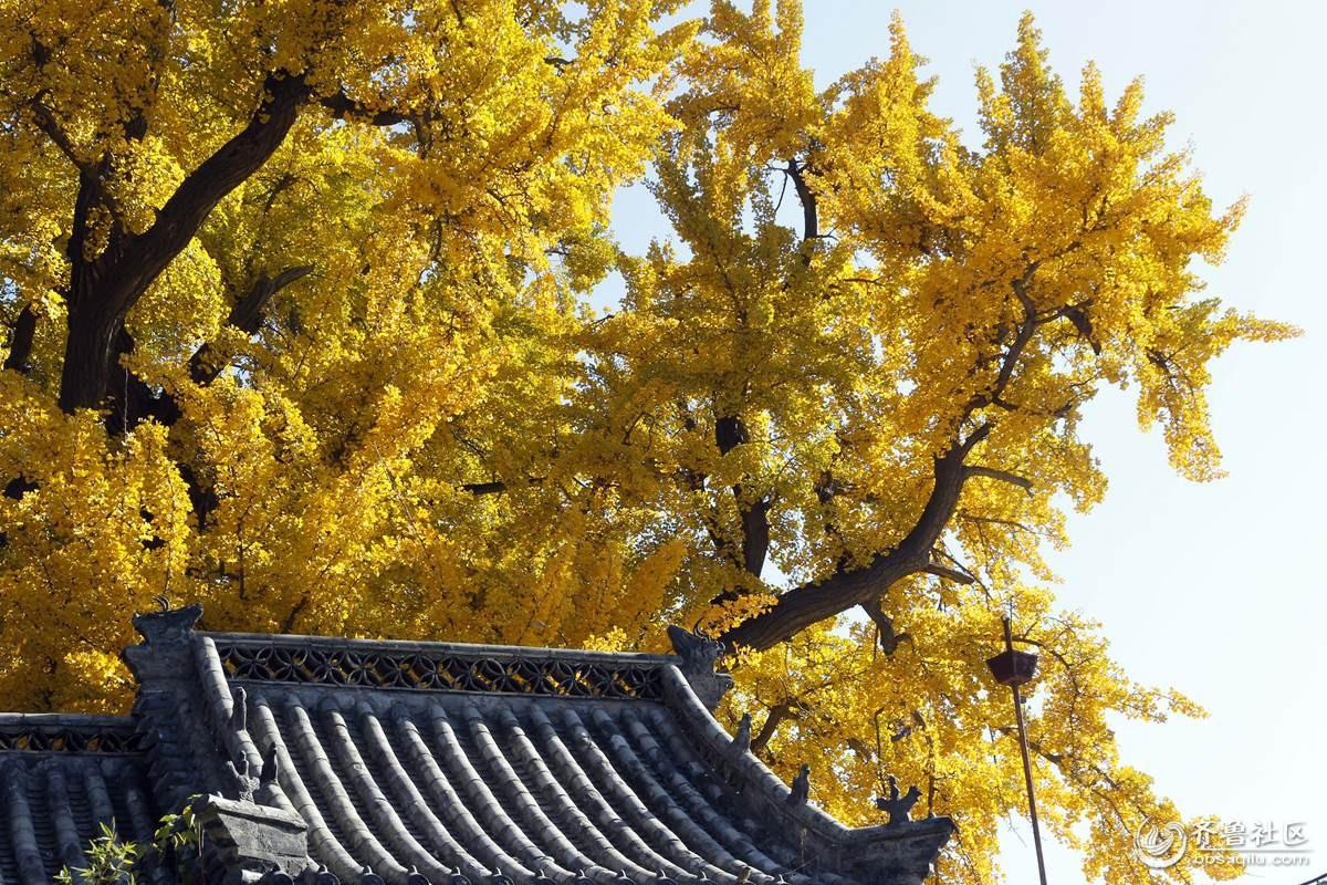 苍老虬劲的银杏树——栖真观(1)