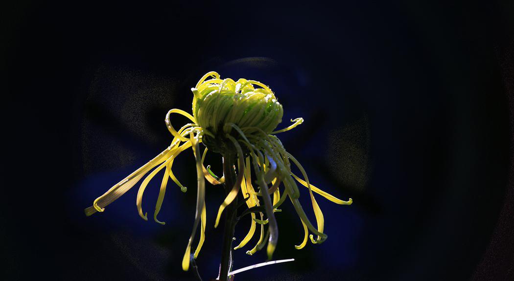 菊花 、、、、5