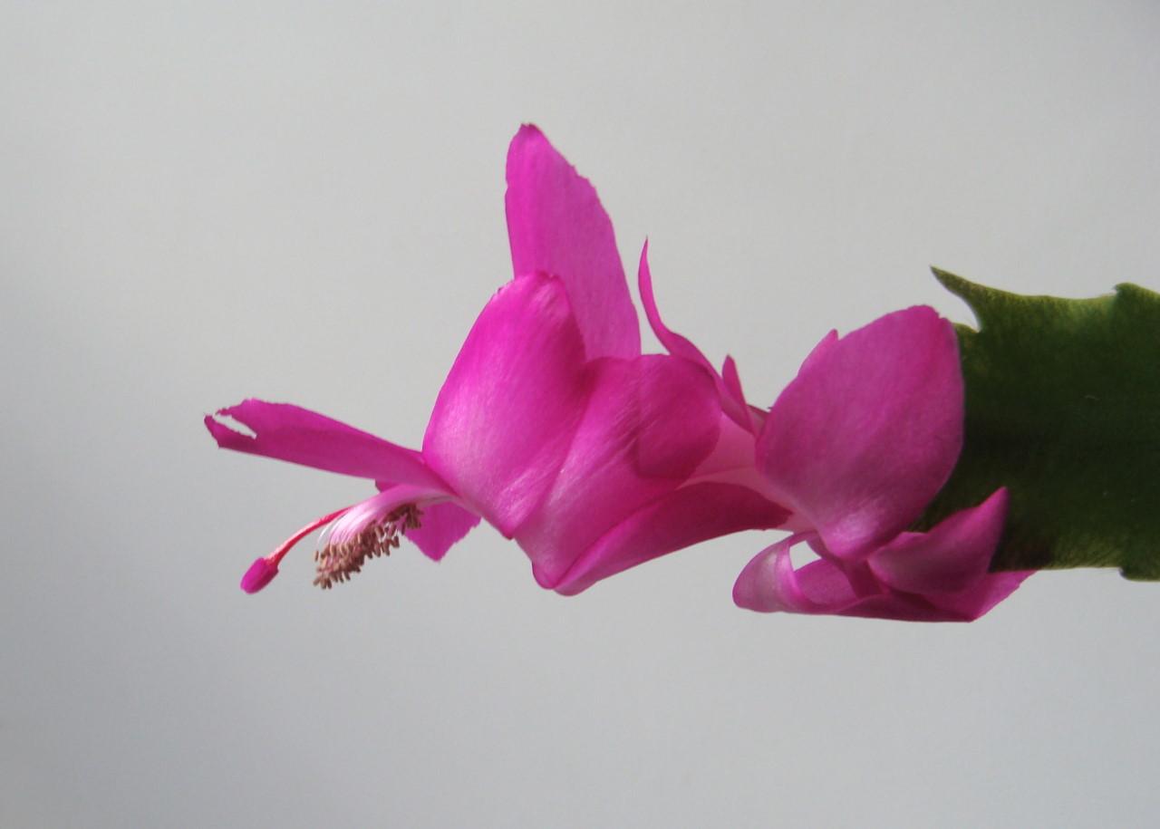 蟹爪兰(15).jpg