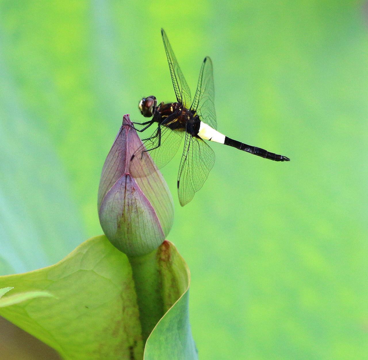 荷塘里的黑蜻蜓