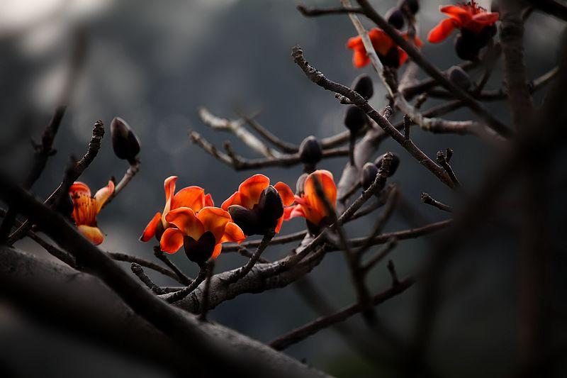 木棉花是广东的特产,是广州的市花