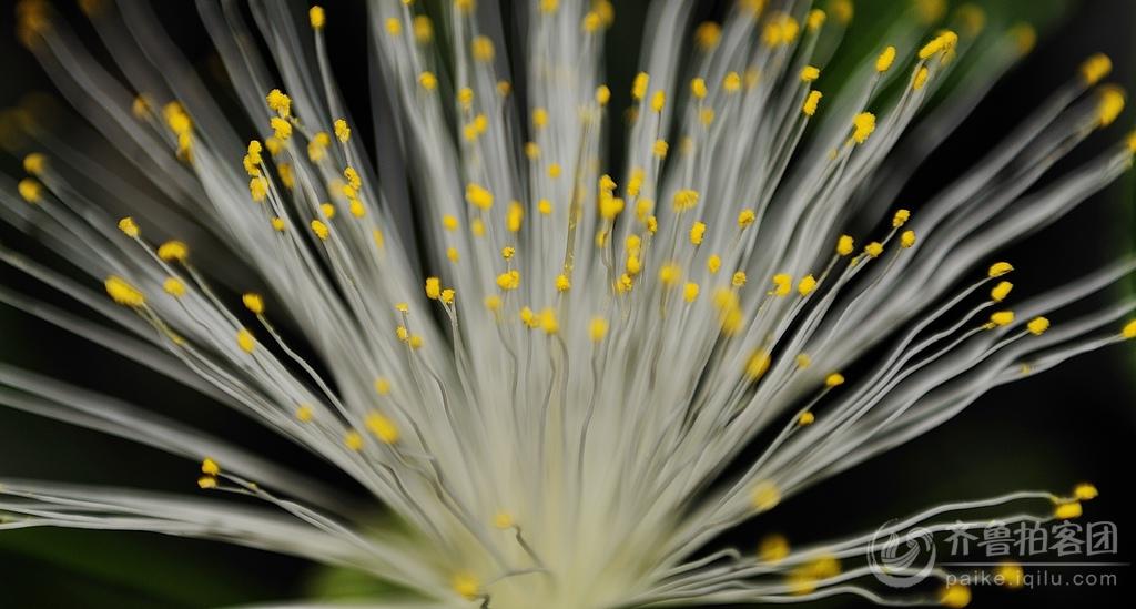 发财树开花《2》