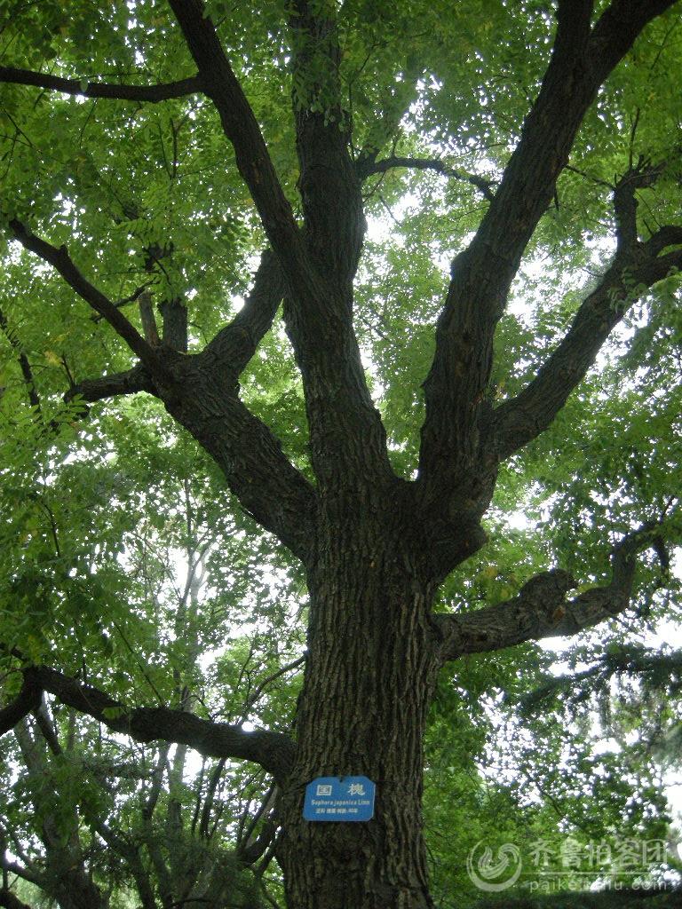 红心槐树木头图片