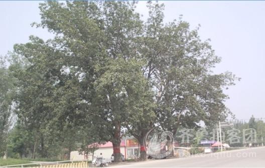 金乡的三棵树 济宁拍客山东第一互动社区,齐鲁网友生活圈,丰富 真
