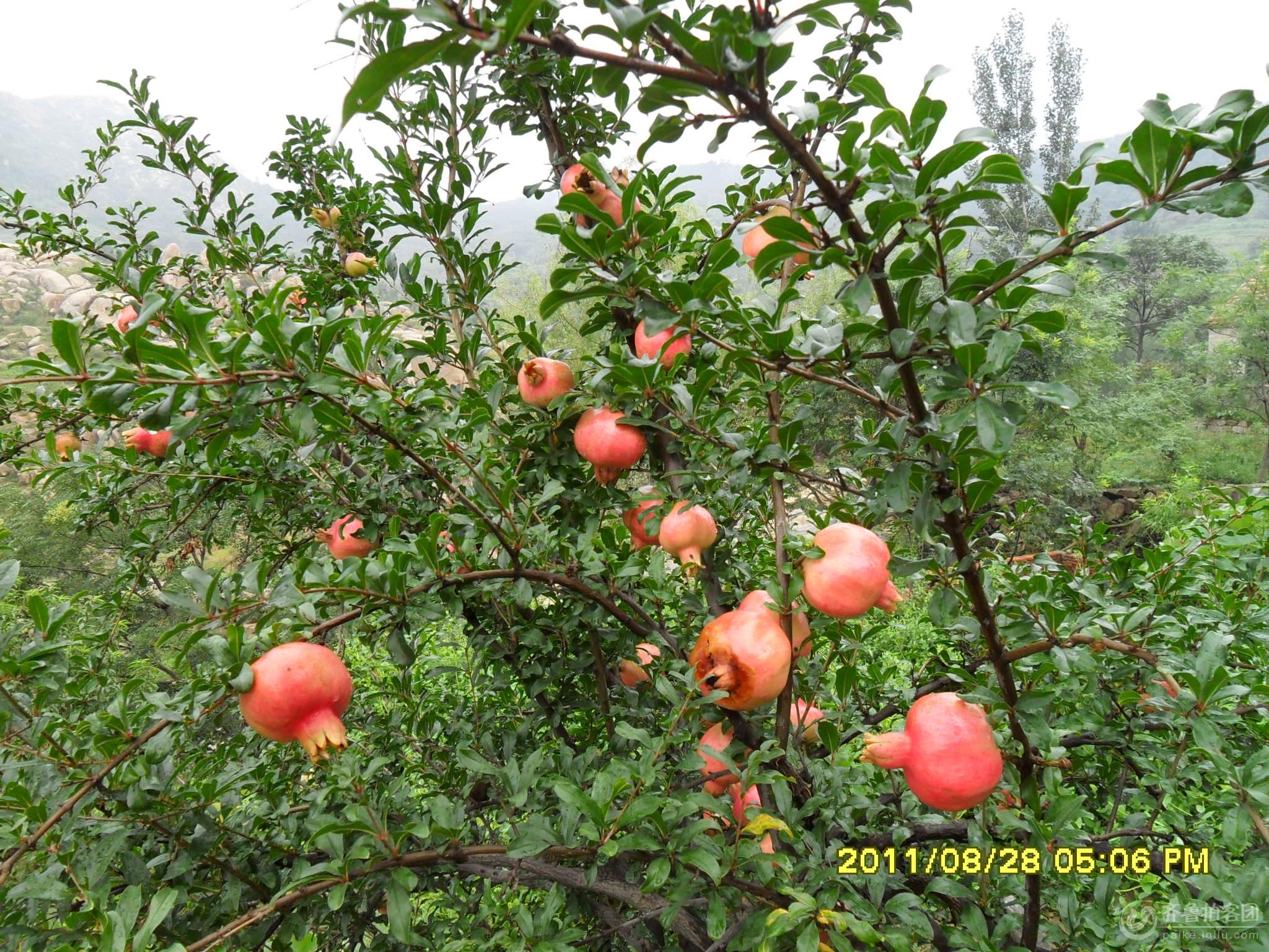 果树丰收带跟图片大全
