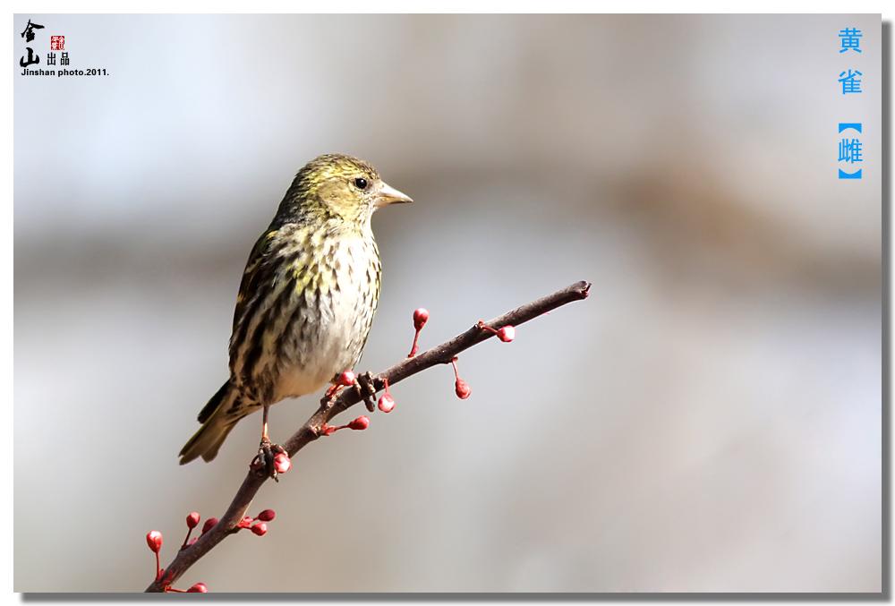 黄雀雌.jpg