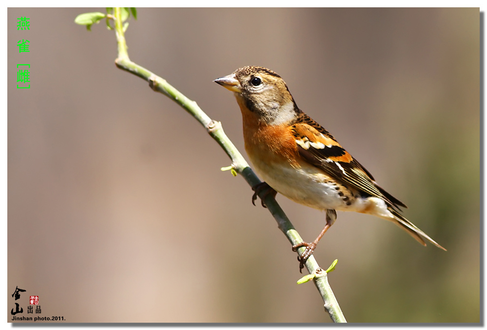燕雀雌.jpg