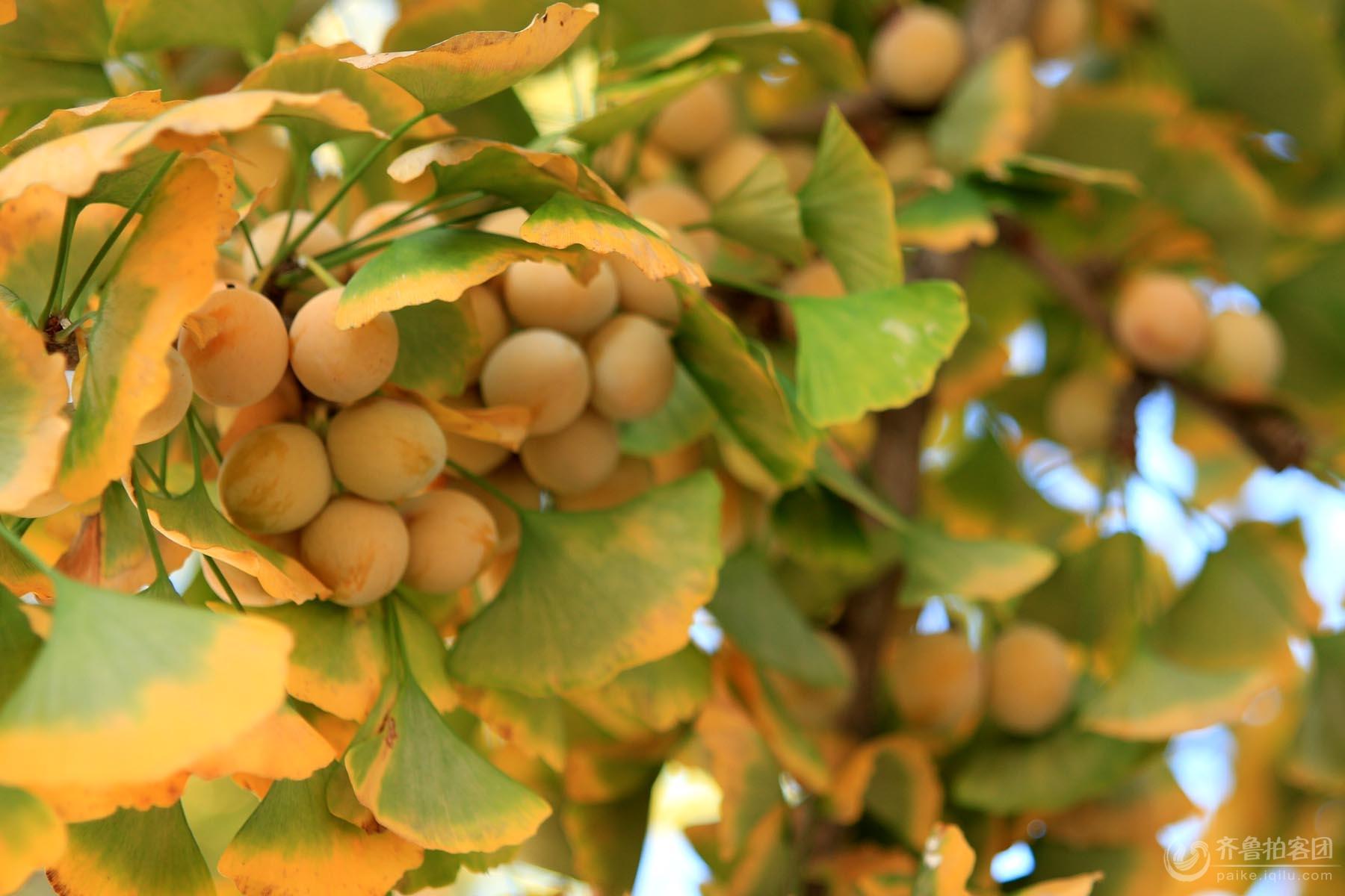 银杏树也称白果树,公孙树.