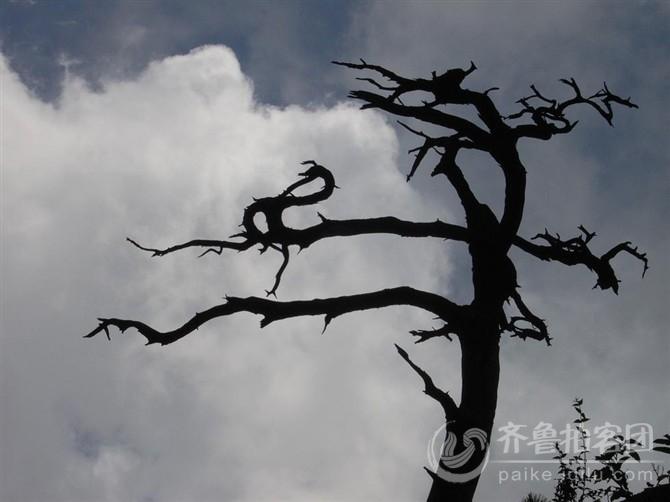 枯树 不亚于大漠胡杨