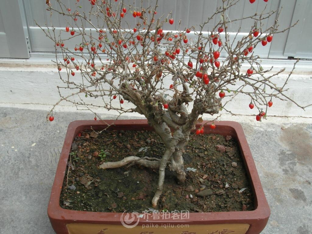 盆栽枸杞树制作盆景,怎样勒出枸杞树盆景,百年枸杞树盆景,枸杞