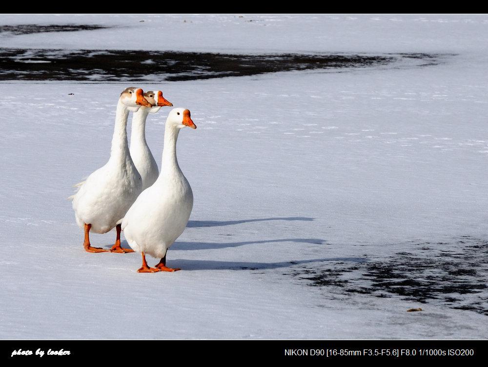天鹅和仙鹤的区别图片