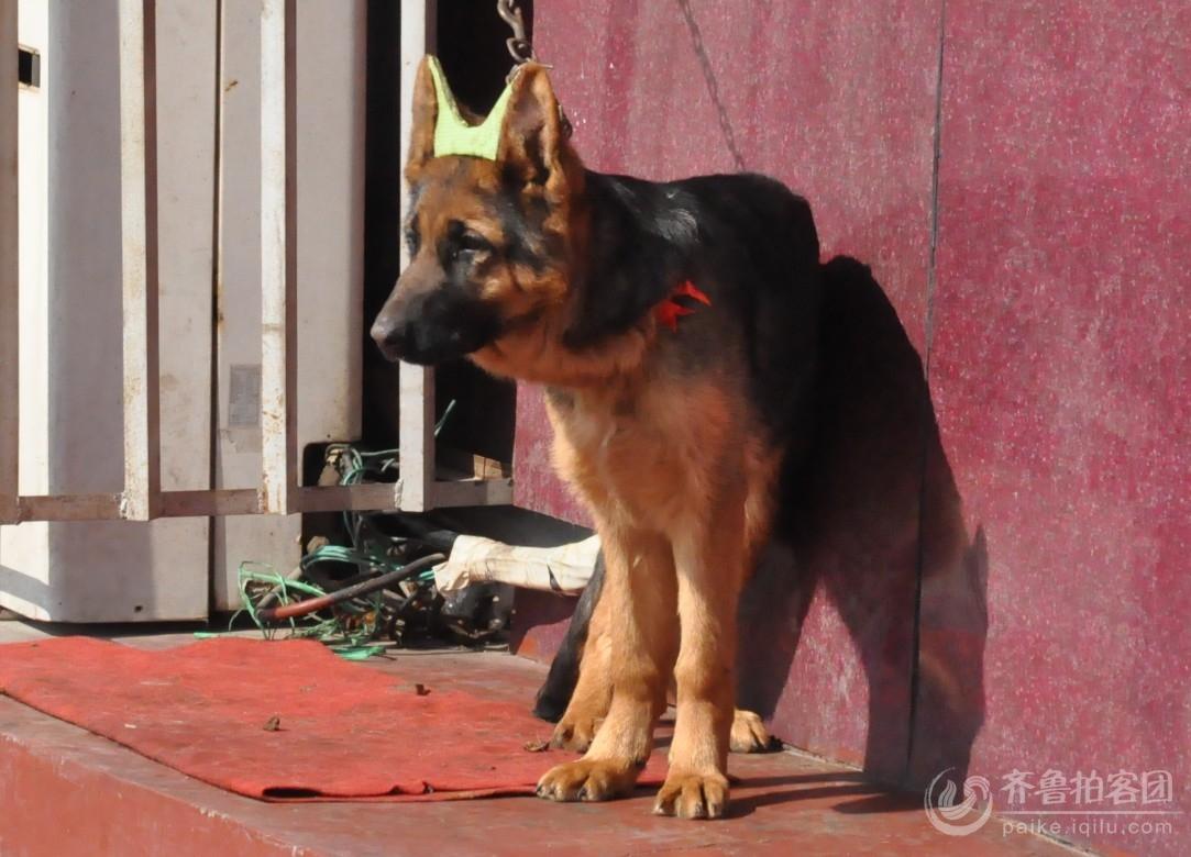 戴皇冠的狗,你见过吗?