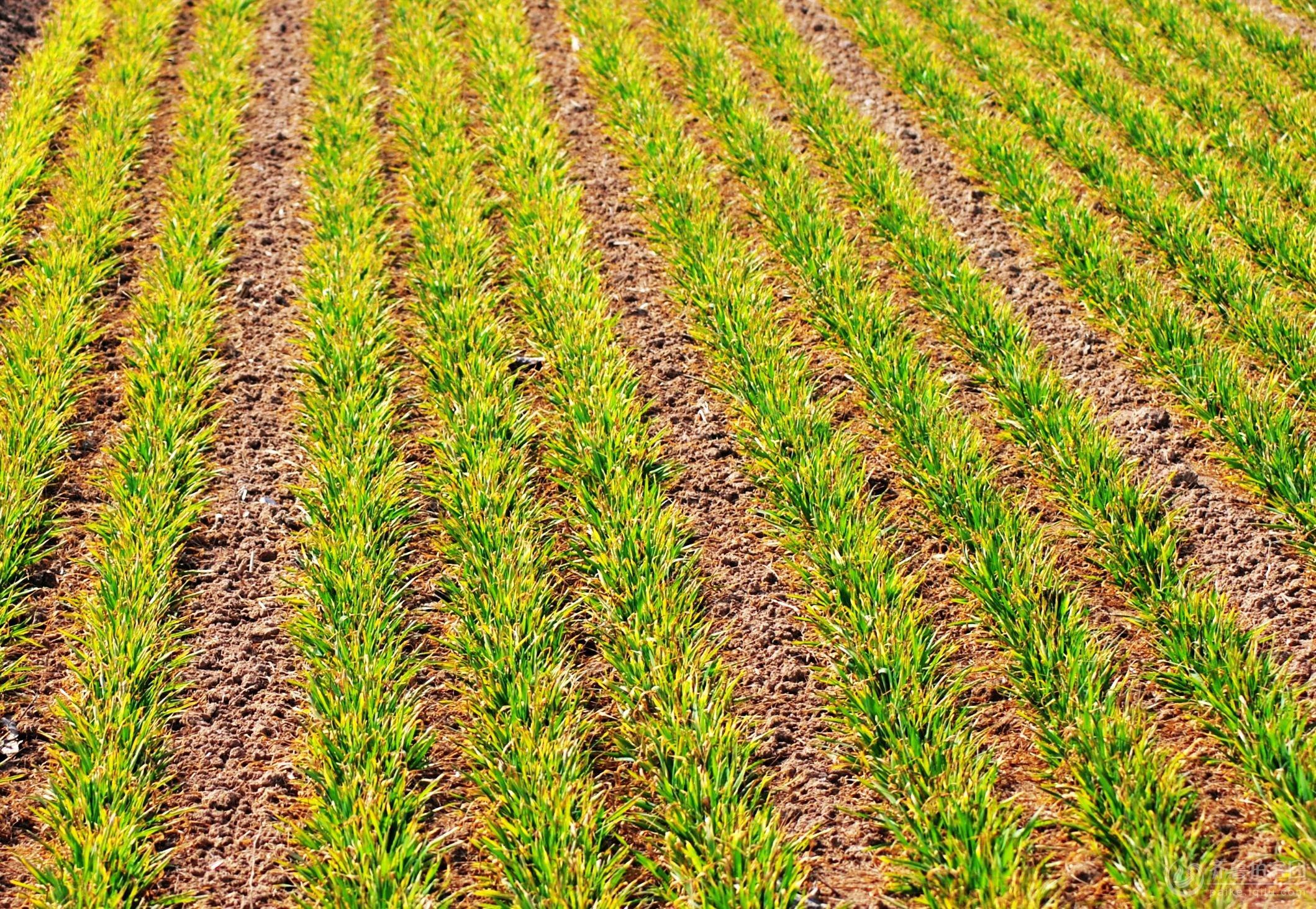 春天到了,小麦返青
