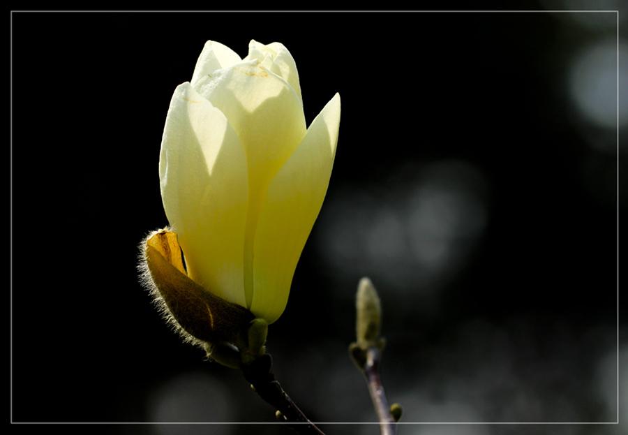 玉兰花1.jpg
