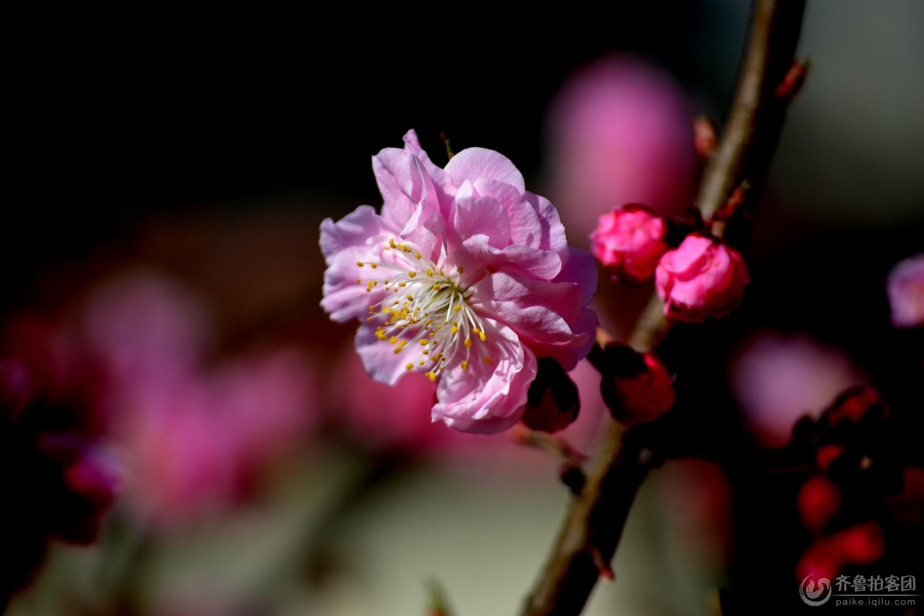 【印象.春天】梅花