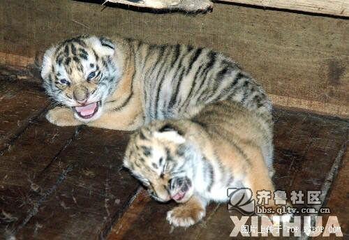 可爱小老虎~~~~ 吼