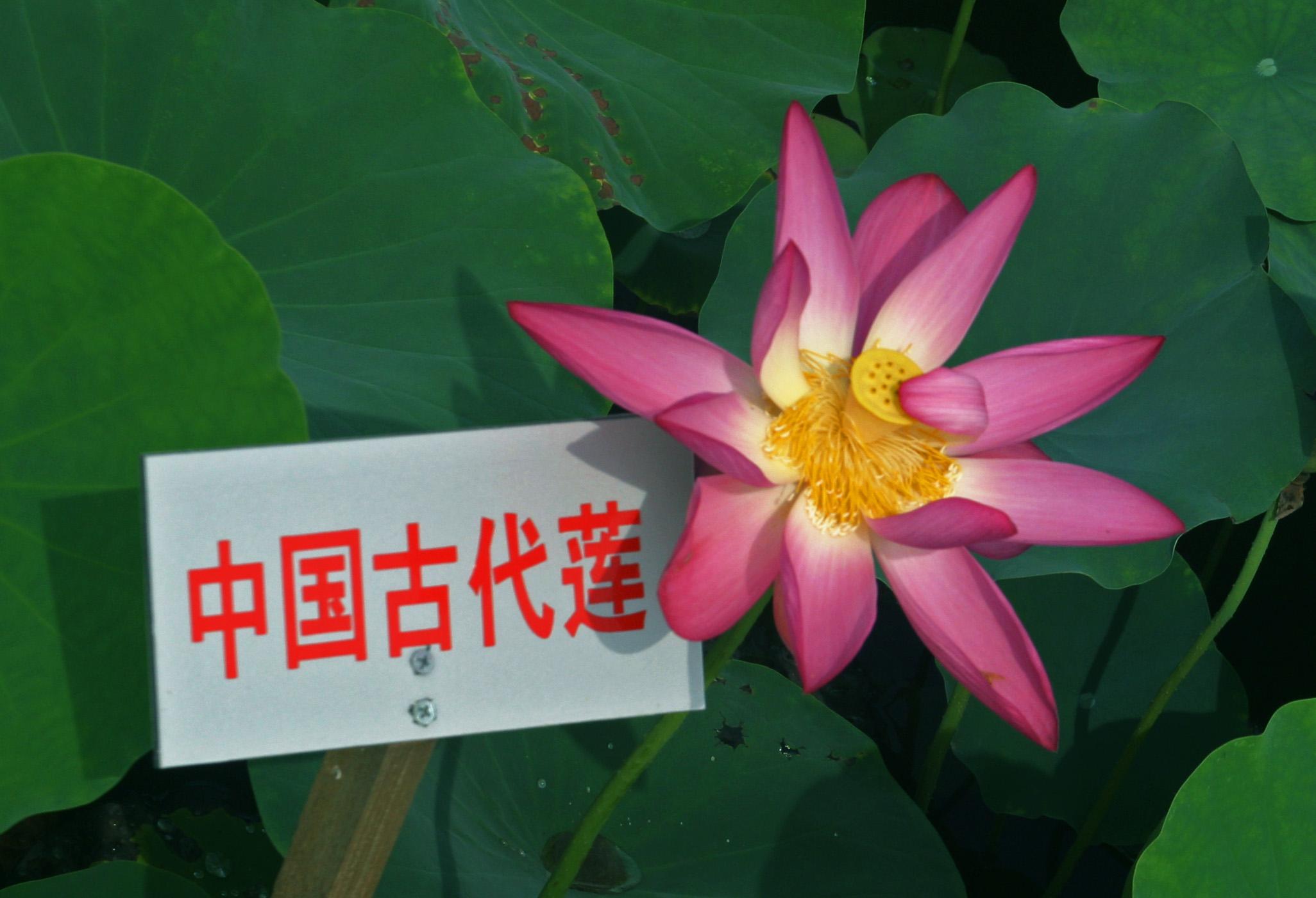 中国古代莲