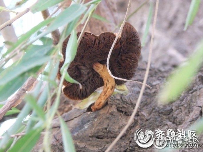 奇妙:活柳树上长蘑菇