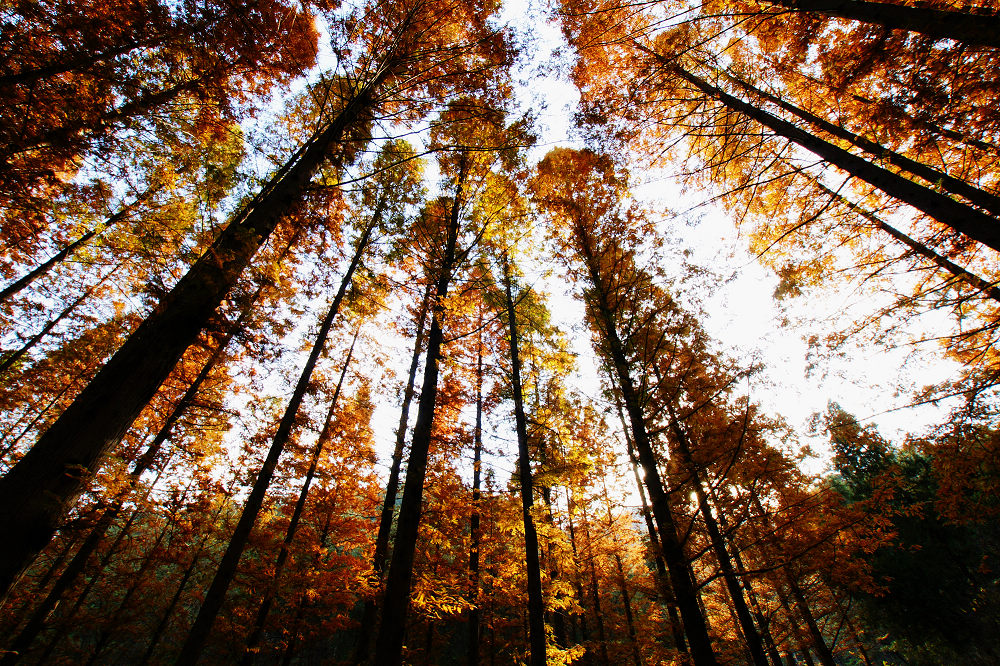 初冬的水杉林