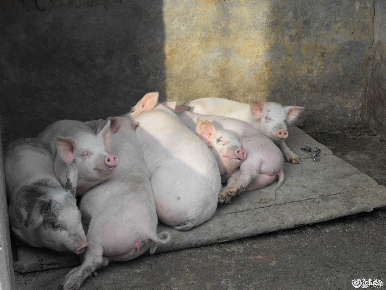 可爱的猪宝宝 - 聊城论坛