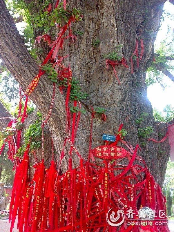 泗水安山寺——神树