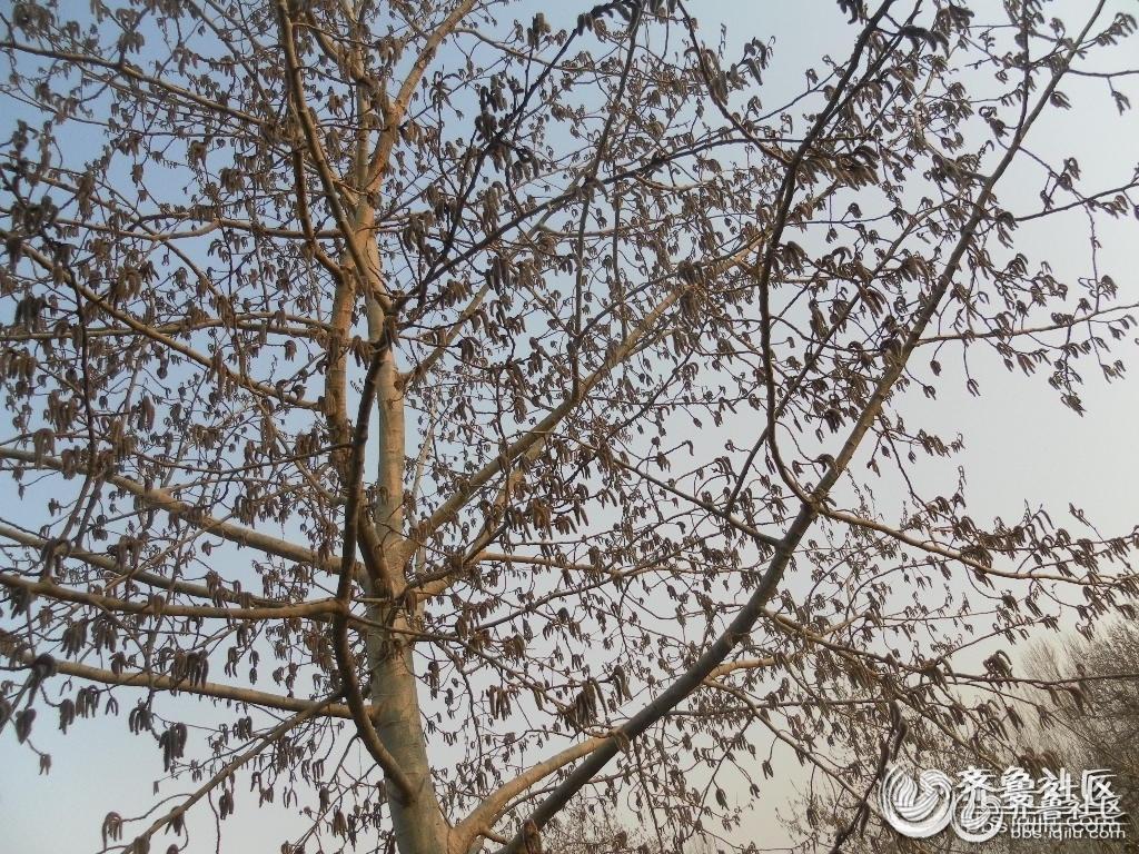 春天到了,柳树发芽了,杨树开花了