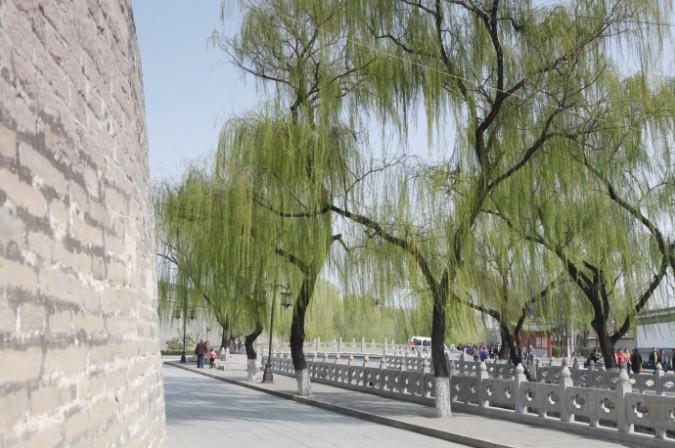 柳树古风手绘图