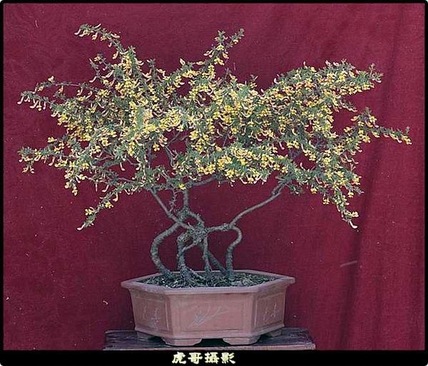 p>金雀属多年生木本植物