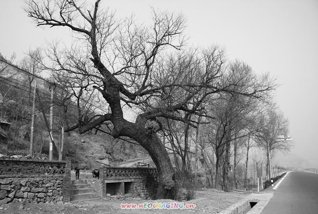 博山的老树