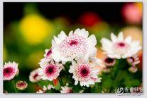 骑行兴隆花卉市场拍花卉之四季菊
