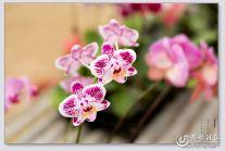 骑行花卉市场拍花卉之蝴蝶兰