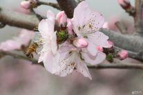 三月桃花开  嗡嗡蜜蜂来  3