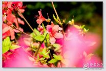 【潍坊比安奇单车+晒照】骑行兴隆花卉市场拍花卉之映山红