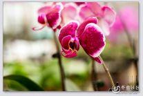 【潍坊比安奇单车+晒照】骑行兴隆花卉市场拍花卉之蝴蝶兰