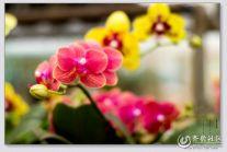 【潍坊比安奇单车+晒照】骑行花卉市场拍花卉之蝴蝶兰